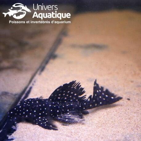 LEPORICANTUS GALAXIAS  - L007  - Colombie - taille L
