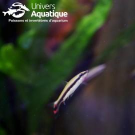 Nannostomus trifasciatus - Colombie