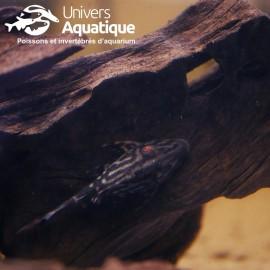 Panaque titan L418 - Colombie