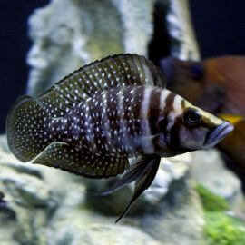 Altolamprologus calvus black pearl 3 - 4 cm