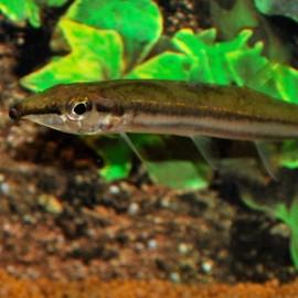 Acestrorhynchus falcatus 7 - 9 cm