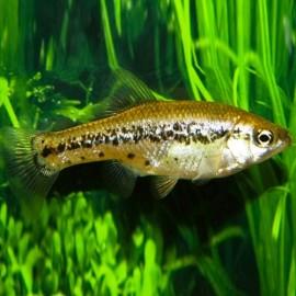 Ameca splendes 3 - 4 cm
