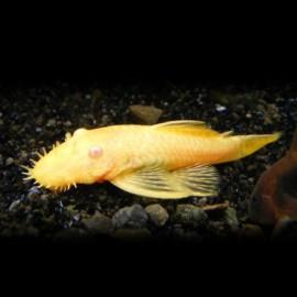 Ancistrus albino  7 cm