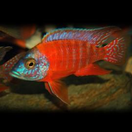 Aulonocara sp. rubin red S