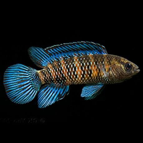 Badis badis blue 3-4cm
