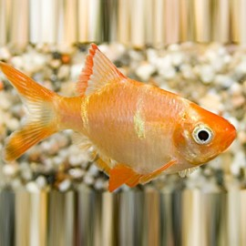 Barbus /Capoeta/ tetrazona albin 3 - 3,5 cm