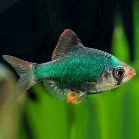 Barbus /Capoeta/ tetrazona green 2,5 - 3 cm