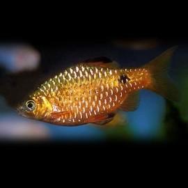 Barbus /Puntius/ conchonius 3 - 4 cm