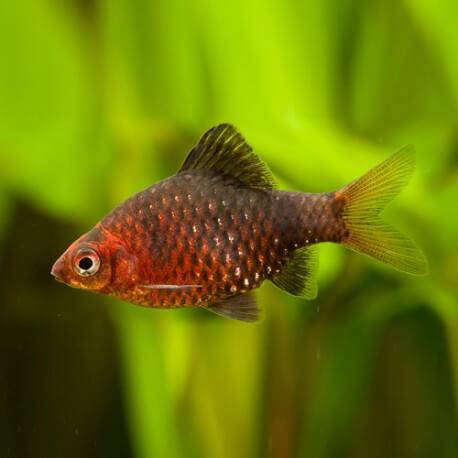 Barbus /Puntius/ nigrofasciatus 3 - 3,5 cm