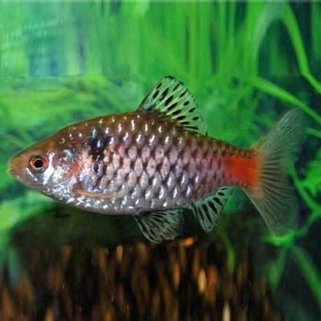 Barbus /Puntius/ ticto /odesa/ 2,5 - 3 cm