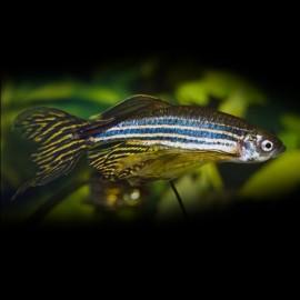 Brachydanio rerio long fin > 3,8 cm
