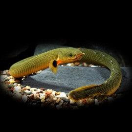 Erpetoichthys calabaricus 20 - 30 cm