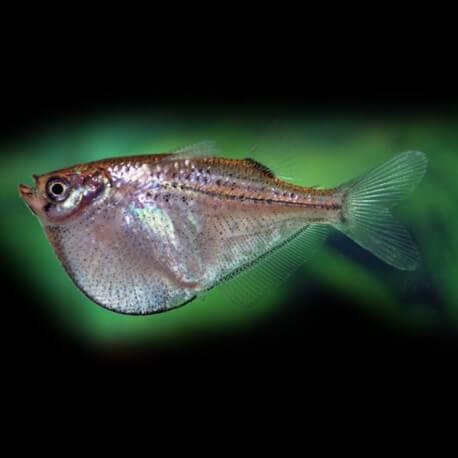 Gasteropelecus sternicla XL