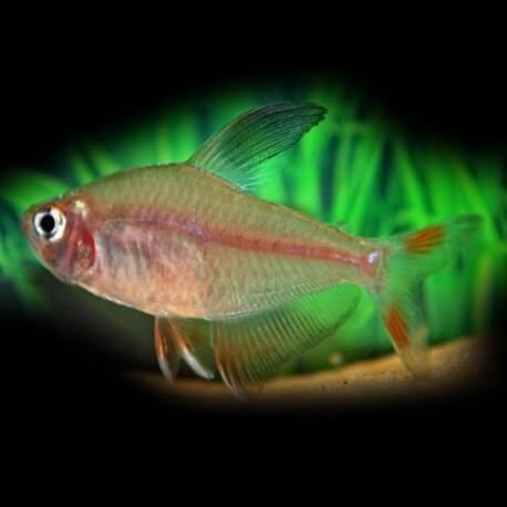 Hyphessobrycon bentosi /ornatus/ 2,7 - 3,3 cm