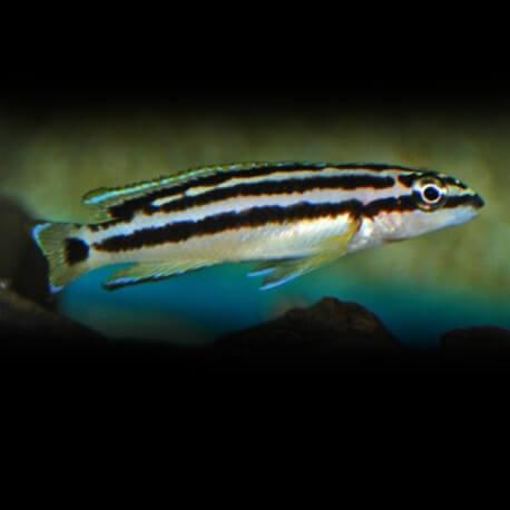Julidochromis transcriptus 4,5 - 5,5 cm