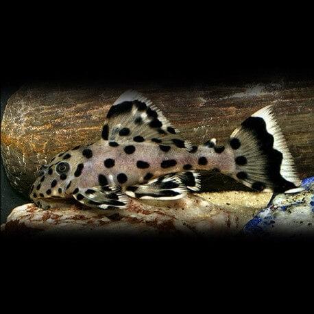 L264 Leporacanthicus joselimai 4 - 5 cm