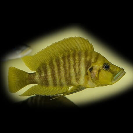 Lamprologus comp.yellow chaitika 5 cm