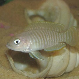 Lamprologus multifasciatus 2 - 3 cm