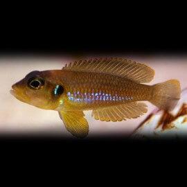 Lamprologus ocellatus 2 - 3 cm
