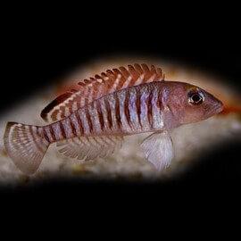 Lamprologus signatus 4 - 5 cm