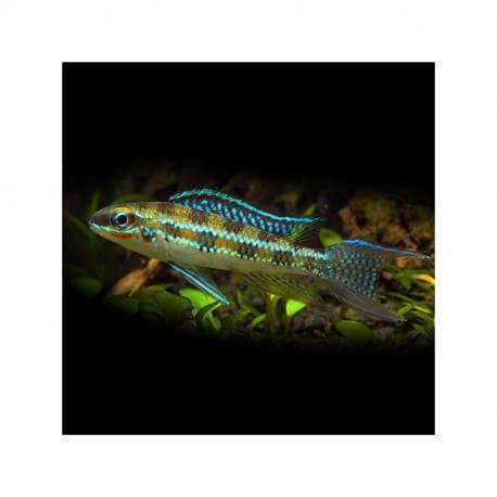 Dicrossus filamentosus 2 cm